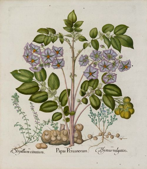 BOTANY.-Basilius Besler (1561-1629), circa/after 1613. 1. Papas peruanorum 2. Thymus vulgatis 3. Serpillum citratum. Hand-coloured copper engraving on laid paper. 48 x 39.5 cm. From: Hortus Eystettensis, Eichstätt et al., circa 1613. - Fine condition.