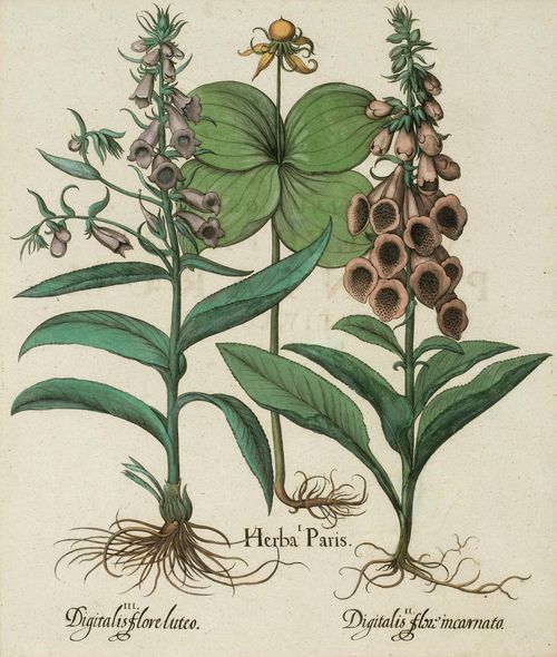 BOTANY.-Basilius Besler (1561-1629), circa/after 1613. I. Herba Paris. II. Digitalis flori incarnato. III. Digitalis flore luteo. Original coloured copper engraving on laid paper, 49 x 41 cm (image). From: Hortus Eystettensis, Eichstätt et al., circa 1613. Framed. - Very good condition.