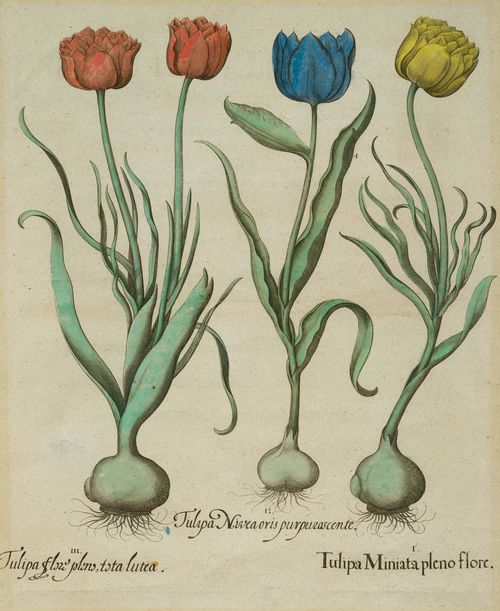 BOTANY.-Basilius Besler (1561-1629), circa/after 1613. I. Tulipa Miniata pleno flore II. Tulipa Nivea oris pupurascente. III. Tulipa flore pleno tota lutea. Hand-coloured copper engraving on laid paper, 50 x 39.5 cm (image). From: Hortus Eystettensis, Eichstätt et al., circa 1613. Framed. – Minor fading. Overall good condition.