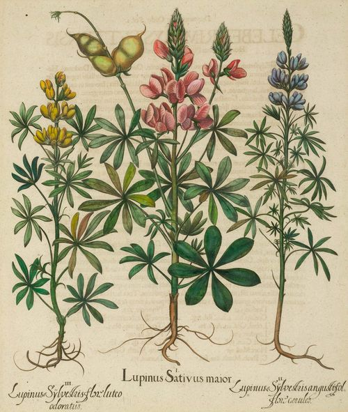 BOTANY.-Basilius Besler (1561-1629), um/nach 1613. Lupinus Sativus maior II. Lupinus Sÿlvestris angustifol flore coeruleo III. Lupinus Sÿlvestris flori luteu adoratus. Hand-coloured copper engraving on laid paper, 49 x 40 cm. From: Hortus Eystettensis, Eichstätt et al., circa 1613. Framed. – Very good condition.